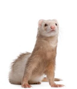 ferret-health