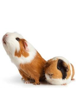 hamster pair