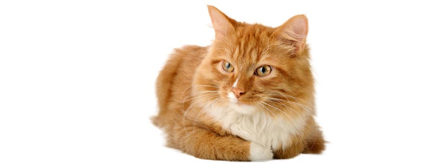 cat-feline